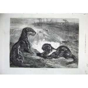 1871 Fine Art Nature Otters River Fish Bird Country