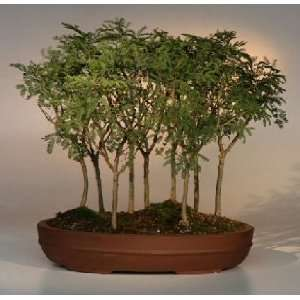 Sweet Acacia Bonsai Tree.9 Tree Forest Group.(acacia farnesiana